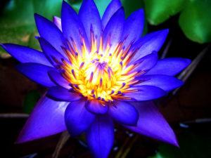 blue lotus sacred lily egypt lotus wine