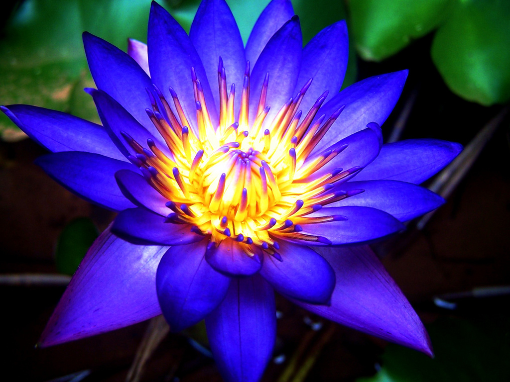 Blue lotus 1 oz gifts from earth blue lotus sacred lily egypt lotus wine mightylinksfo